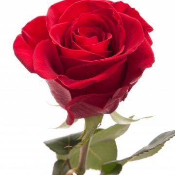 Импортная роза поштучно