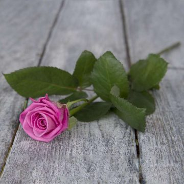 Роза местная поштучно